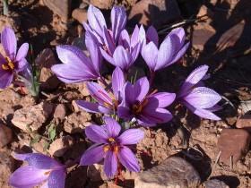 Шафранът се получава от цветовете на шафрановият минзухар
