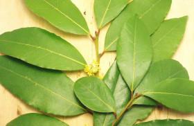дафинов лист лечение