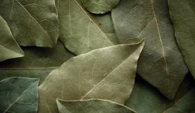 лечение с дафинов лист