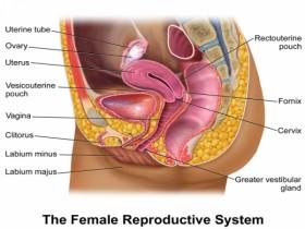 женската полова система