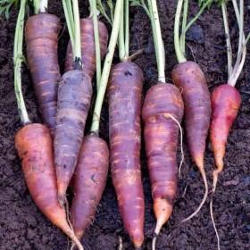 лилави моркови
