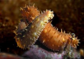 морска краставица
