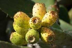 кактусови смокини