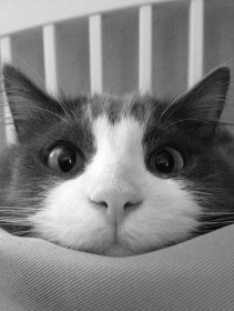 animal-black-and-white-cats-cute-Favim.com-642456