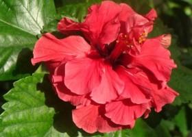 hibiskus_09