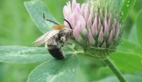 trifolium-detelina