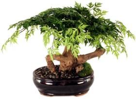 Araliya-bonsay