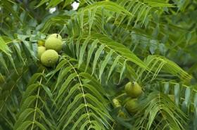 Необикновените лечебни свойства на орехови листа