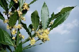 Дафинов лист - древен лек