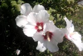 Бяла ружа