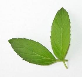mint-leaf_2192208