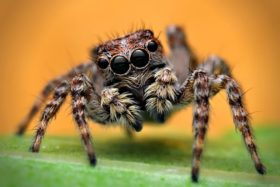 Jumping-spider