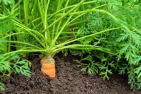 carrot-plants-480x318