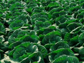 Cabbage3-768x576
