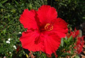 hibiscus-474766_960_720