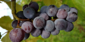 grozde_90