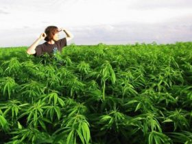 marihuana_90
