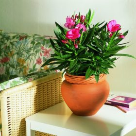 Nerium-oleander